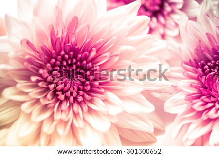Pink Chrysanthemum flowers - stock photo