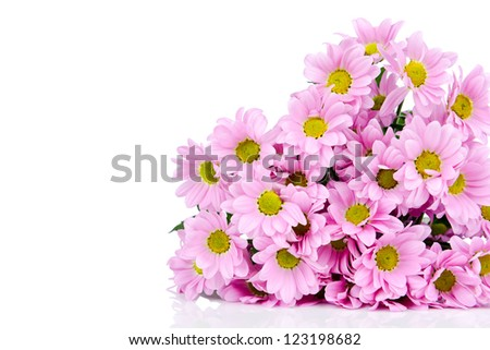 Pink Chrysanthemum isolated on white - stock photo
