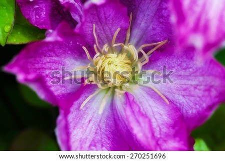 pink clematis in the garden - stock photo