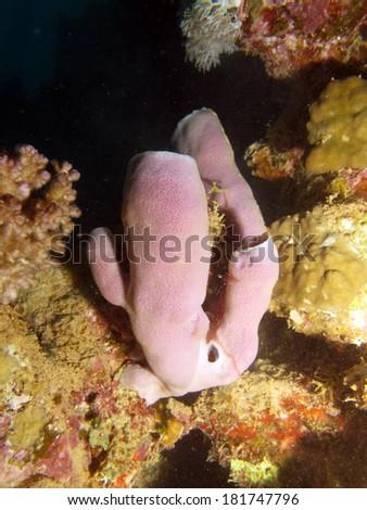 Pink colonial tube sponge (Porifera) on a reef wall - stock photo