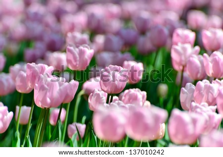 Pink color tulips. (Flower-beds in the spring)