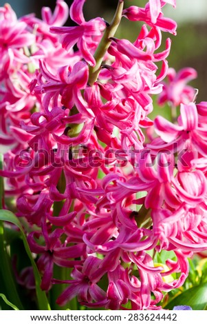 Pink Common Hyacinth (Hyacinthus orientalis) in the spring garden