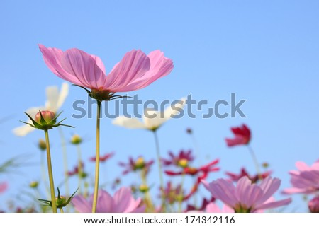 Pink Comos Flowers on sky background