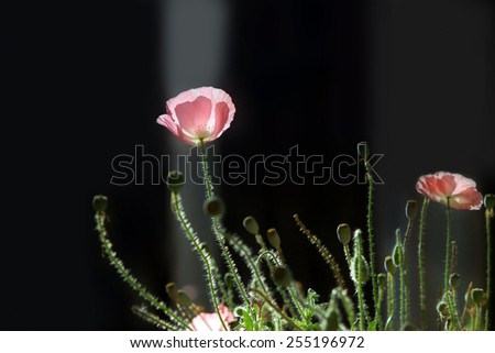 Pink corn poppy on dark background - stock photo