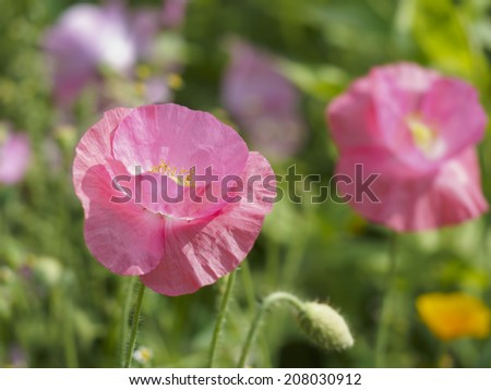 Pink corn poppy (papaver rhoeas) in colorful flower bed in summer. Shallow depth of field. - stock photo