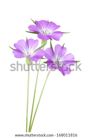 Pink Corncockle Flowers isolated on white background with shallow depth of field and point of  focus on the stamens of the flower on the left.