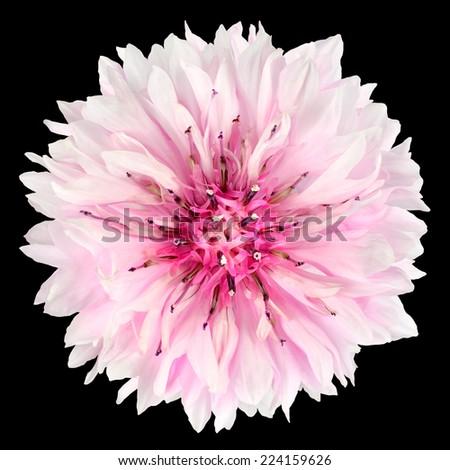 Pink Cornflower Flower Isolated on Black Background. Centaurea cyanus flowerhead wildflower on plain background - stock photo