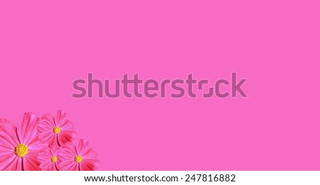 Pink Cosmea Rose pink background - stock photo