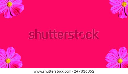 Pink Cosmea Rose the 4 corners pink background. - stock photo