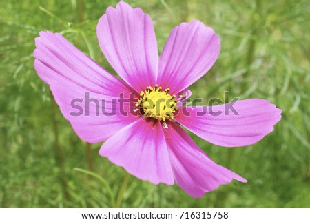 Pink cosmo flower stock photo royalty free 716315758 shutterstock pink cosmo flower mightylinksfo