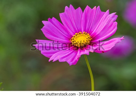 Pink cosmos flower (Cosmos Bipinnatus) with blurred background,soft focus - stock photo