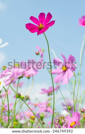 Pink Cosmos flower family fompositae in garden and blue sky - stock photo