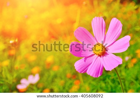 Pink cosmos flower - in Latin Cosmos Bipinnatus - in the meadow under warm sunny light  - summer floral background. Selective focus at the flower - stock photo