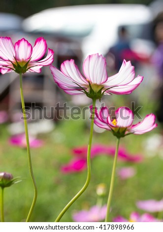 Pink cosmos flowers - stock photo