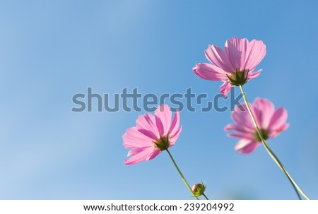 pink cosmos flowers isolated on Blue sky background,in the morning - stock photo