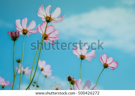 pink cosmos flowers on blue sky background