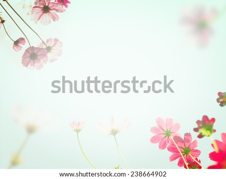Pink cosmos flowers under sun light with color filter. Soft background with pink flower. - stock photo