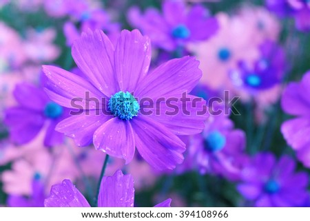 Pink Cosmos flowers with blurred background. - stock photo