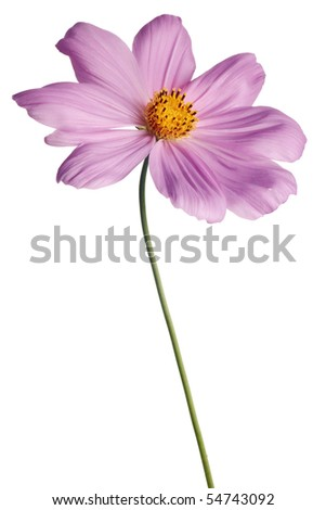 pink cosmos isolated on white background with stem