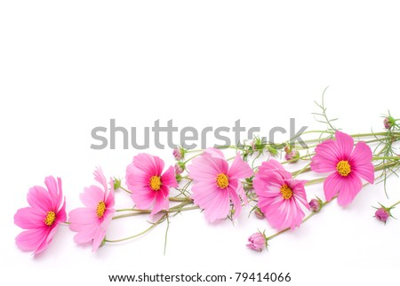 Pink cosmos on a white background - stock photo