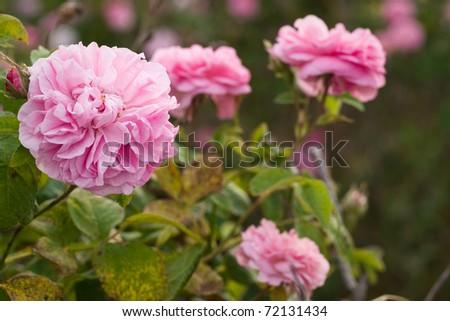 pink crimean rose in sunny garden - stock photo