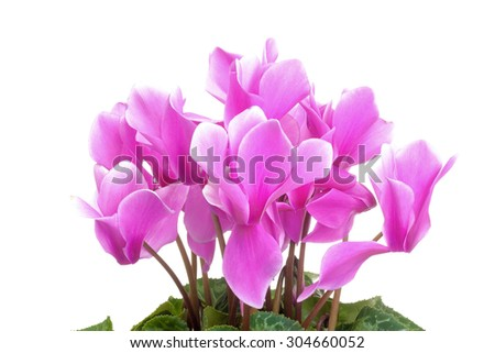 Pink cyclamen flowers with green leaves isolated on white background - stock photo