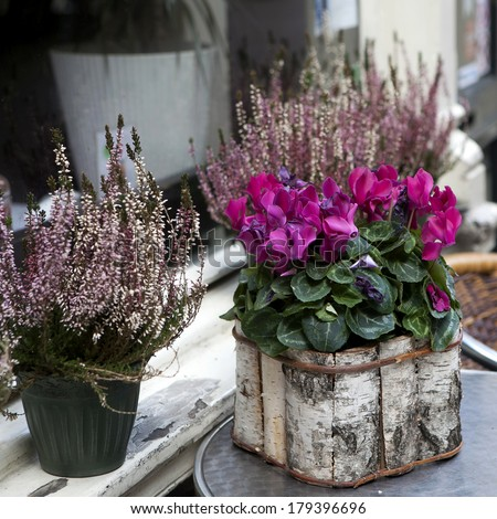 Pink cyclamen in a pot birch bark packaged as a decoration of street cafe - stock photo