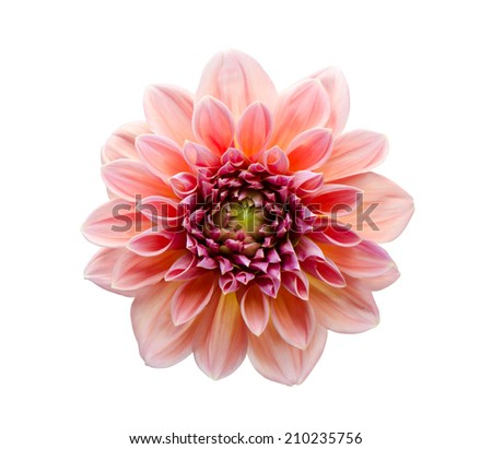 Pink Dahlia bloom isolated on white background. - stock photo
