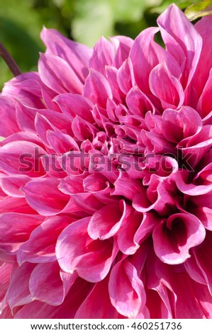 Pink dahlia blossom in close-up; Popular flower in cottage garden; Magnificent flower in late summer - stock photo
