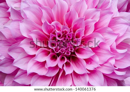 pink Dahlia flower and beautiful petals