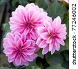 pink dahlia flowers closeup - stock photo