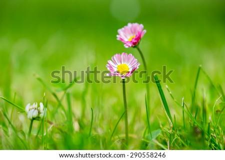 Pink Daisies flower amongst grass - stock photo