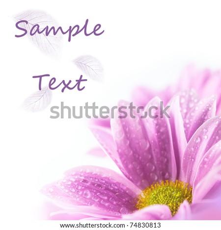 Pink daisies on white background - stock photo