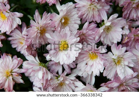 Pink daisies with yellow centers