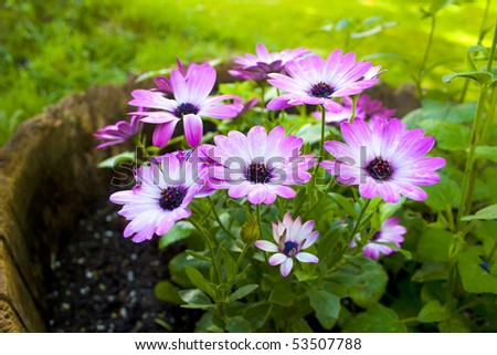 Pink daisy flower in a garden, wide angle.
