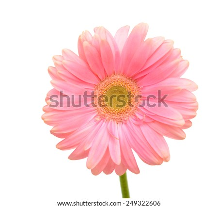Pink daisy flower on white background  - stock photo