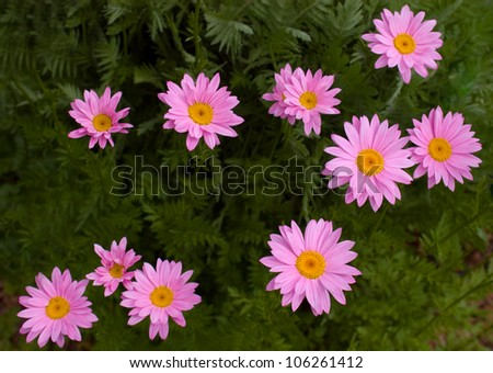 Pink Daisy Flowers in Colorado - stock photo
