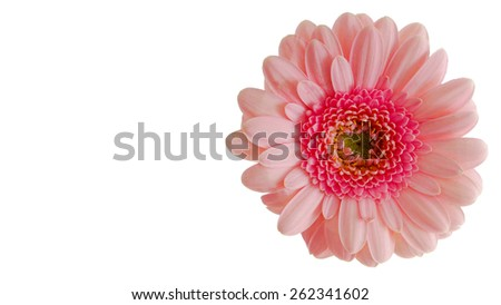 Pink daisy (Gerber)  flower isolated on a white background - stock photo