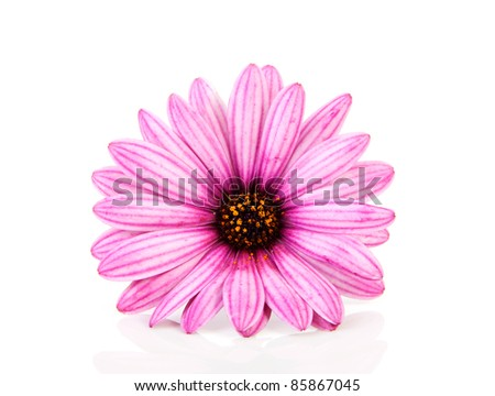 pink daisy in closeup isolated on white background