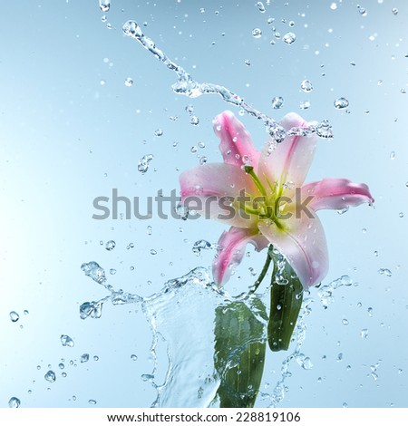 Pink day lily in cool splashing water spraying water droplets in an arc through the air on a fresh blue background - stock photo