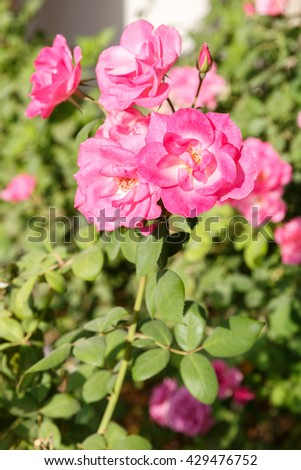 Pink decorative roses on leaves background - stock photo