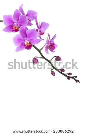 pink Dendrobium orchid on white background - stock photo
