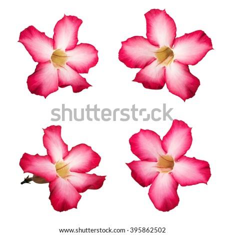 Pink Desert rose flowers, isolated on white background - stock photo