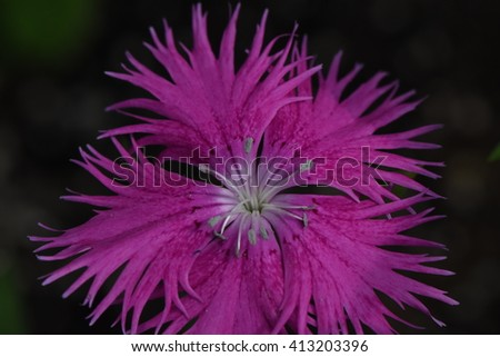 pink dianthus carnation plant blooming in spring