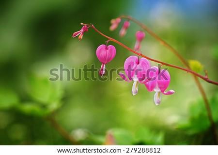 Pink dicentra - Bleeding Heart Flowers - stock photo