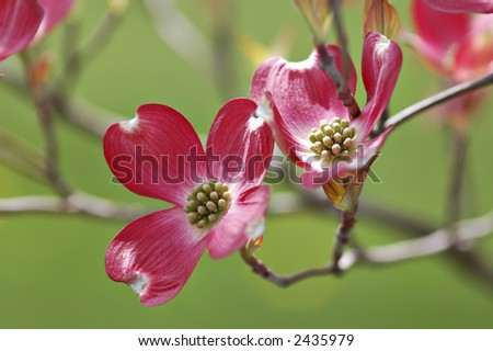 Pink dogwood blossoms.