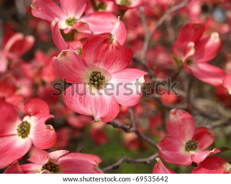 Pink Dogwood Tree Blooms at the Height of Springtime - stock photo