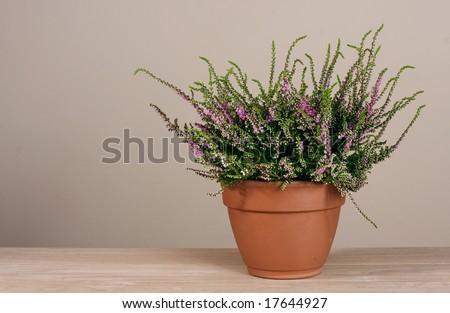 Pink erica in earthen pot - stock photo