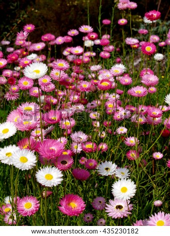 Pink Everlasting Daisies of the family Rhodanthe chlorocephala in Western Australia.  This is an Australian native spring flowering wildflower