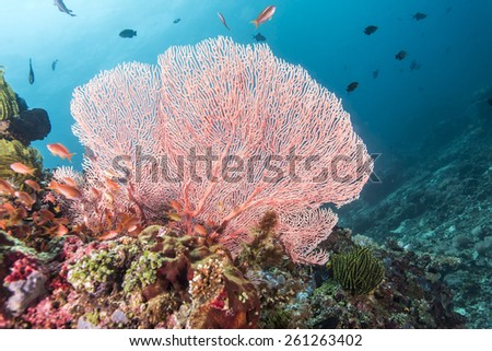 Pink fan coral and colorful tropical fishes in Anilao, Philippines. - stock photo